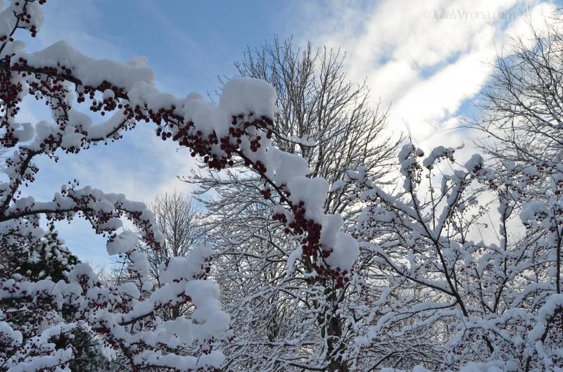 Crabapple tree at Niagara Falls, New York