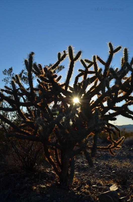 Cholla Cactus sun
