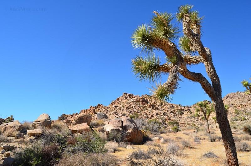Joshua Tree & Boulders