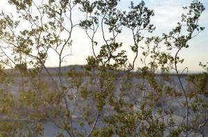 desert creosote