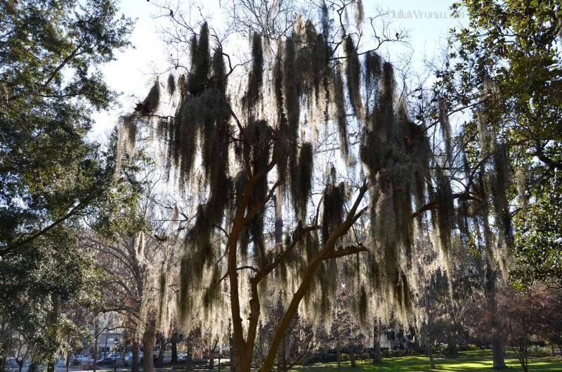 Spanish moss in Forsyth Park in Savannah Georgia