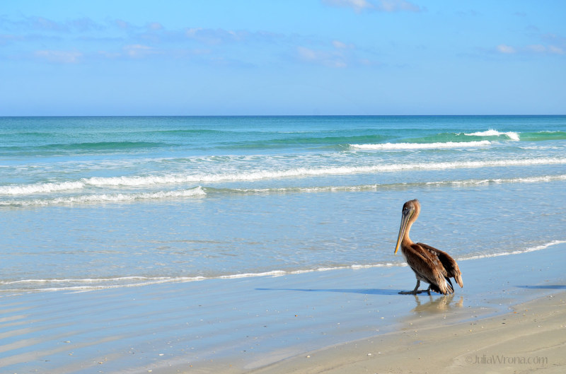 Pelican on New Symrna Beach