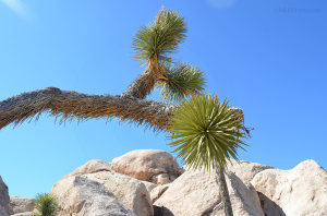close up of a joshua tree from below