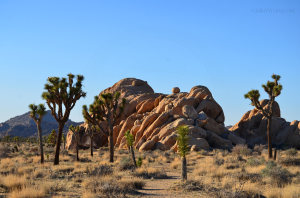 joshua trees in front of boulders