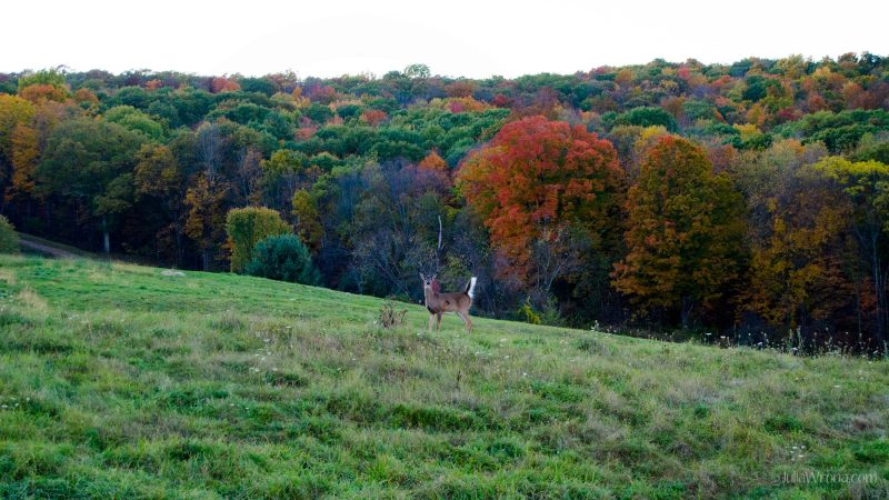 Deer with autumn colors in field