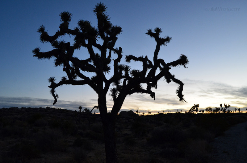 Joshua Tree National Park at sunset