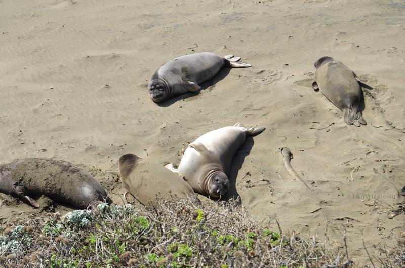 cute Elephant seals on beach in San Simeon