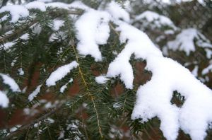 Snow Covered Evergreen