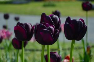 JKW_8097eweb Queen of the Night Tulips.jpg
