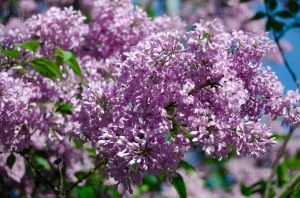 JKW_8299eweb Lilacs in Bloom.jpg